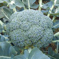 broccoli-5338-intersemillas