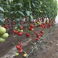 tomato-8282-intersemillas